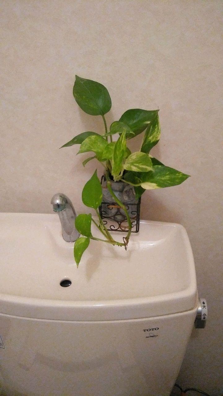 トイレのポトス