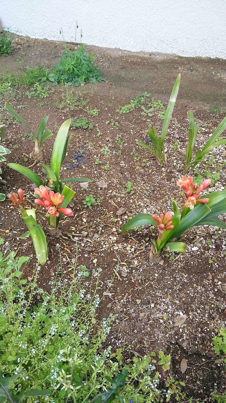クンシランが力強く咲いていました